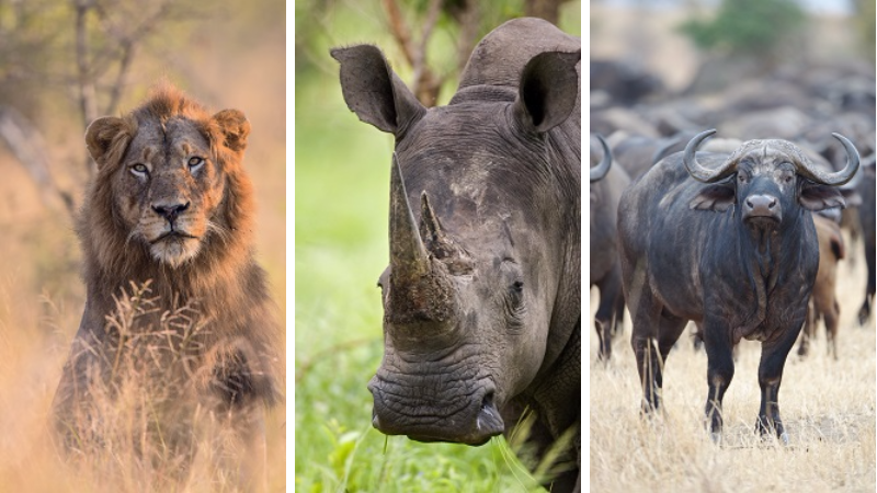 Big Five, Lion, Rhino and Buffalo