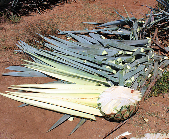 Blue Agave, Pencas (leaves)