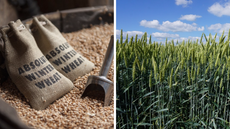 The single-estate winter wheat used to make Absolut Elyx Photo credit Rob Kachelriess