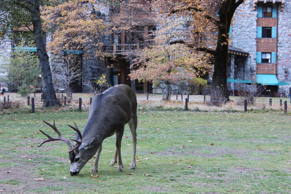 Deer grazing near the Ahwahnee Hotel, Yosemite Valley | © btwashburn/Flickr